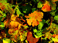 Grape Leaves in Fall