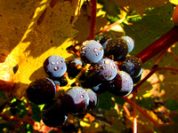 Fall Grapes at the Winery